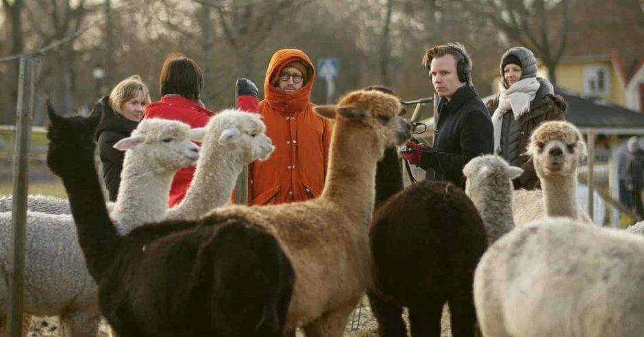 Alpakoita, joiden takana on kuvausryhmä